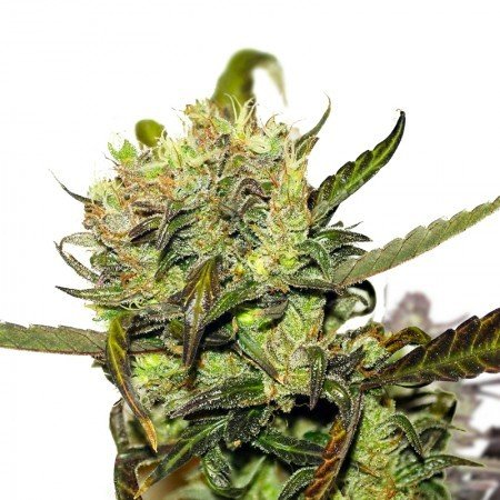 Buy-Orange-Bud-Feminized-Marijuana-Seeds