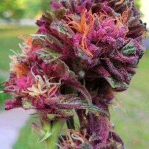 Purple-Queen-Fem